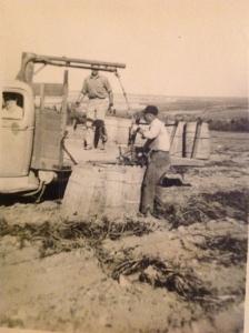 Potato barrels be loaded onto the truck