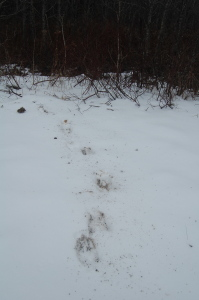 Moose tracks in the snow