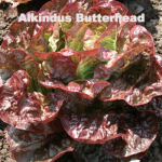 Variety: Butterhead Name: Alkindus Color: Dark Red and Shiny, with Light Green Heart Size: Small, Dense Heads Taste: Crisp, Savoyed, Flavorful