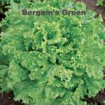 Variety: Leaf Name: Bergam's Green Color: Glossy, Frilled Medium Green Size: Medium-Large Taste: Uniform, Crisp, & Flavorful