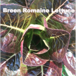 Variety: Romaine Name: Breen Color: Dark Red with Bright Green Inside & Base Size: Small, Compact Mini-head Taste: Buttery, Crisp, & Flavorful