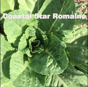 Coastal Star Lettuce