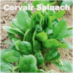 Variety: Spinach Name: Corvair Color: Dark Green Size: Uniform, Oval Leaves Taste: Sweet, Tender, & Smooth