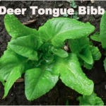 Variety: Bibb Name: Deer Tongue Color: Green Size: Unique Deer Tongue Shaped Leaf, Mini Head Taste: Heirloom Variety with Excellent Flavor
