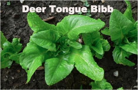 Deer Tongue Lettuce