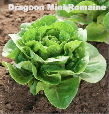 Dragoon Lettuce