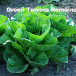 Variety: Romaine Name: Green Towers Color: Dark Gray/Green in Color Size: Dense, Large Heads Taste: Mildly Flavored, Slightly Savoyed