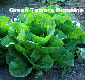 Green Tower Lettuce