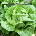 Variety: Butterhead Name: Mirlo Color: Pale Green Size: Large Tender Leaves, Dense Heart, Full Sized Head Taste: Delicate, Lots of Flavor