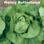 Variety: Butterhead Name: Nancy Color: Medium Green Leaves Size: Large, Tight Full Sized Heads Taste: Smooth & Buttery