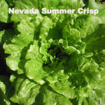 Variety: Summer Crisp Name: Nevada Color: Glossy, Medium Green, Ruffled Size: French Crisp Type, Large Open Heads, Thick Taste: Buttery, Crisp, & Flavorful