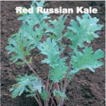 Variety: Kale Name: Red Russian Color: Stems are Purple; Leaves are Dark Green, Purple Veins Size: Flat, Medium Toothed Leaf, Narrow Stem Taste: More Tender Than Most Kales