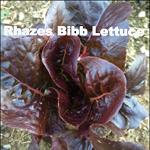 Variety: Bibb Name: Rhazes Color: Red Leaf Margins with Green Heart Size: Small, Mini-head Taste: Tender, Crisp, & Mild