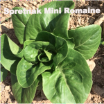 Variety: Romaine Name: Spretnak Color: Dark Glossy Green Leaves, Blanched Tender Hearts  Size: Mini-Bibb/Romaine Packed Tight in Dense Rossettes Taste: Crisp, Crunchy, Excellent Flavor