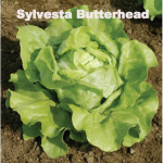 Variety: Butterhead Name: Sylvesta Color: Green, Boston Type Size: Big Heads with Thick Leaves Taste: Sweet, Flavorful Leaves