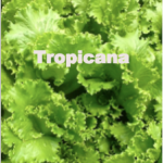 Variety: Leaf Name: Tropicana Color: Medium to Dark Green Leaves Size: Full Attractive Heads with Heavy Leaves Taste: Excellent Crisp, & Flavorful