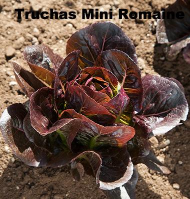 Truchas Lettuce
