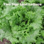 Variety: Leaf Name: Two Star Color: Medium-Dark Green Leaves  Size: Full Sized Heads Taste: Exceptional Flavor, Crisp
