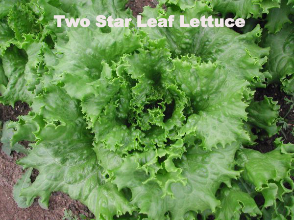 Two Star Lettuce